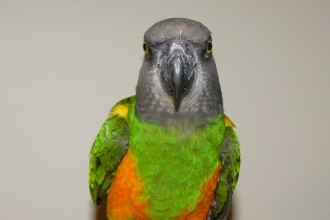 Poicephalus Senegalus Parrot , 7 Wonderful Senegal Parrots In Birds Category