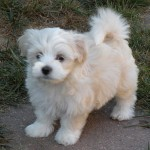 puppies , 7 Awesome Pictures Of Havanese Dogs In Dog Category