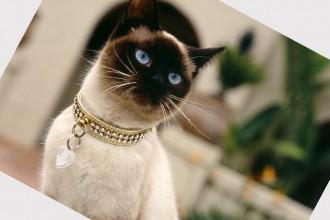 Ragdoll Cat , 8 Cute Cat Breeds Pictures In Cat Category