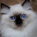 ragdoll cat breeders , 5 Fabulous Ragdoll Cat Pictures In Cat Category