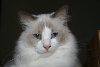 ragdoll cats in Scientific data