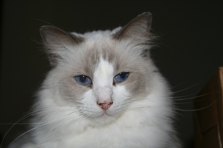 Cat , 5 Gorgeous Ragdoll Cats Pictures : Ragdoll Cats