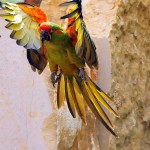 red macaw , 7 Cool Red Fronted Macaw In Birds Category