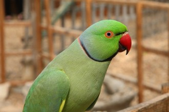 ringneck parrot facts in Animal