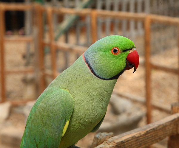 ringneck parrot facts