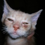 ringworm in cats , 6 Charming Ringworm In Cats Pictures In Cat Category