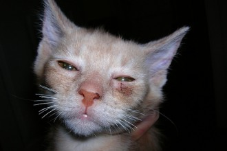 ringworm in cats in Primates