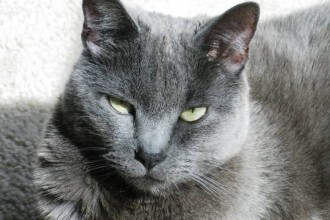 Russian Blue , 7 Gorgeous Pictures Of Russian Blue Cats In Cat Category