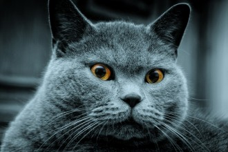 Russian Blue Cats , 7 Gorgeous Pictures Of Russian Blue Cats In Cat Category
