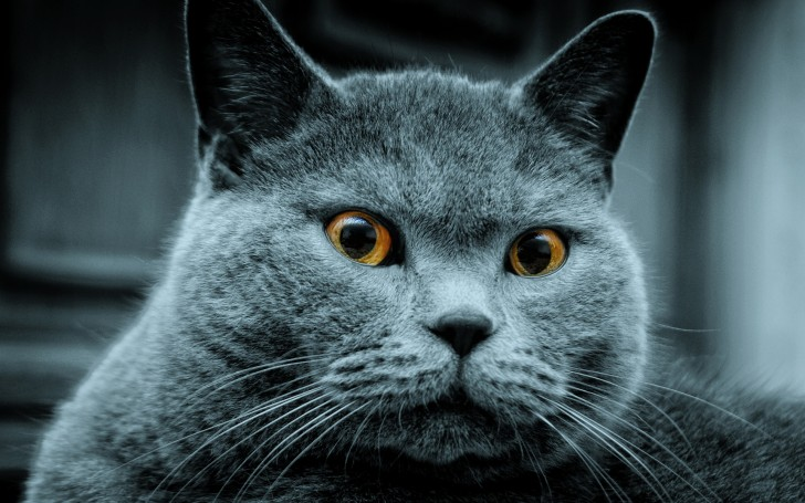 Cat , 7 Gorgeous Pictures Of Russian Blue Cats : Russian Blue Cats