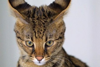 Savana Cat , 7 Lovely Savannah Cat Pictures In Cat Category