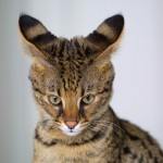 savannah cat breed , 8 Cute Cat Breeds Pictures In Cat Category