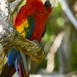 scarlet macaw , 7 Beautiful Green Winged Macaw In Birds Category