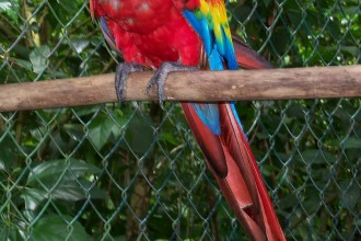 scarlet macaw in Dog