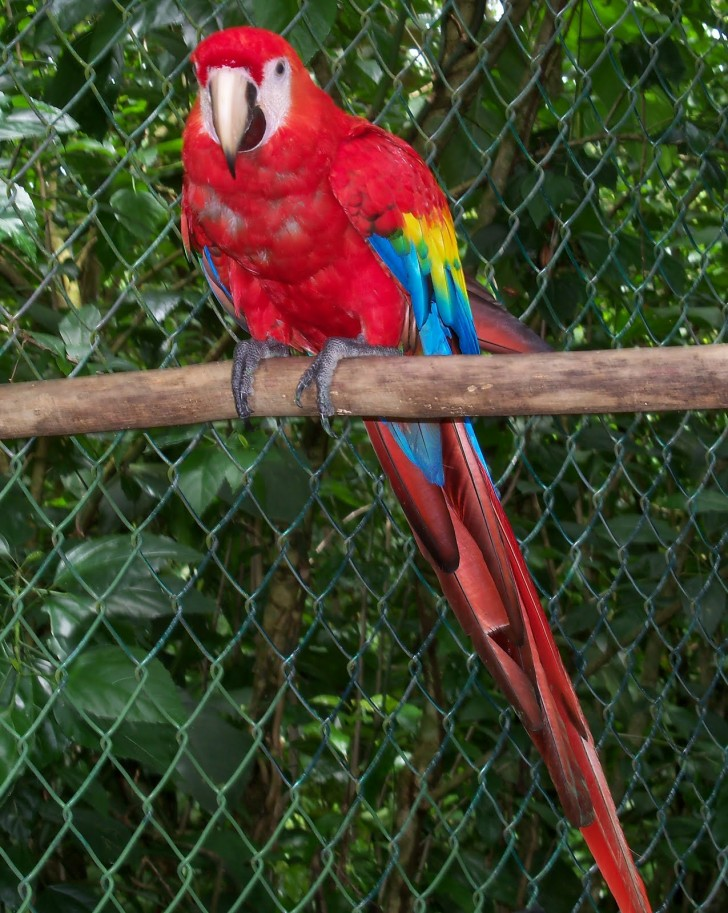 Birds , 8 Cool Macaw Rescue : Scarlet Macaw