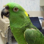 senegal parrot , 6 Wonderful Yellow Naped Amazon Parrot In Birds Category