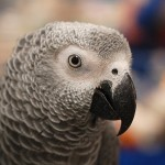 senegal parrot , 7 Cute Baby African Grey Parrot In Birds Category