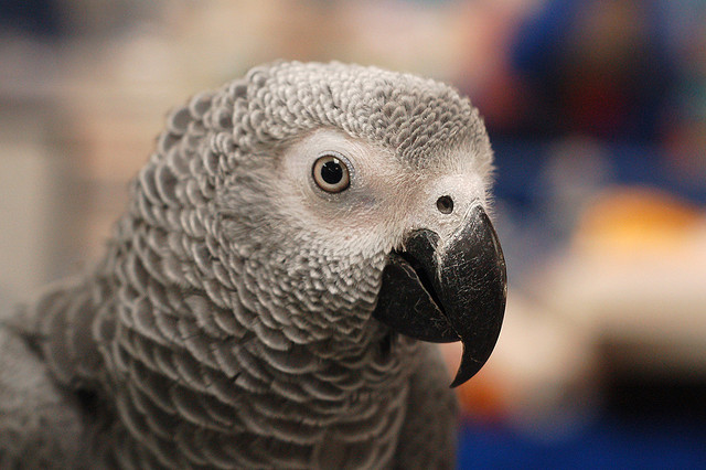 Birds , 7 Cute Baby African Grey Parrot : Senegal Parrot