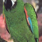 severe macaws , 8 Fabulous Severe Macaw In Birds Category