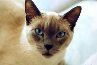 siamese cats in Animal