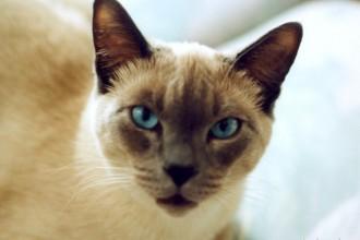 siamese cats in Invertebrates