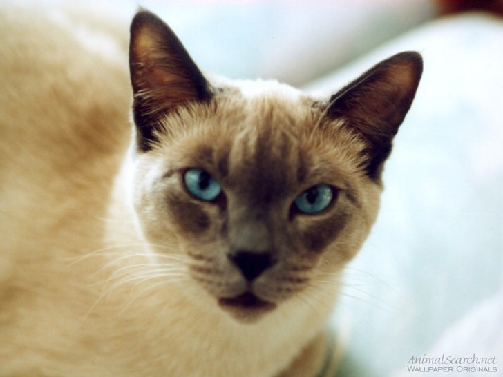 Cat , 6 Cute Pictures Of Siamese Cats : Siamese Cats