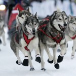 sled dog race , 7 Nice Pictures Of Sled Dogs In Dog Category