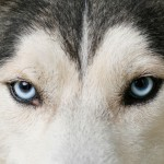 sled dogs , 7 Nice Pictures Of Sled Dogs In Dog Category