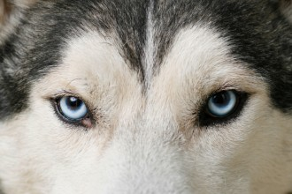 sled dogs in Animal