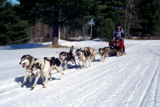 sled dogs in Muscles