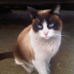snowshoe burmese cat , 6 Charming Snowshoe Cat Pictures In Cat Category