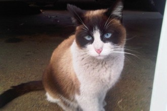snowshoe burmese cat in Dog