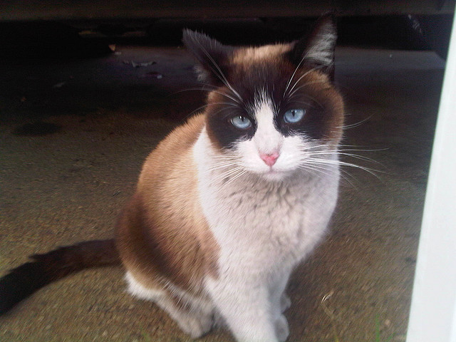 Cat , 6 Charming Snowshoe Cat Pictures : Snowshoe Burmese Cat