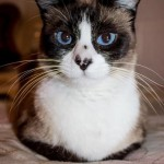 snowshoe persian cat , 6 Charming Snowshoe Cat Pictures In Cat Category