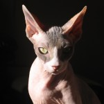 sphinx , 6 Wonderful Sphynx Cat Pictures In Cat Category