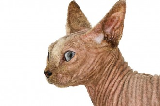 Sphynx Cat , 6 Unique Hairless Cat Pictures In Cat Category