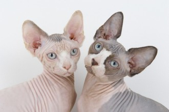 Sphynx Cats , 7 Top Rated Pictures Of Sphynx Cats In Cat Category