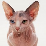 sphynx cats , 6 Wonderful Sphynx Cat Pictures In Cat Category