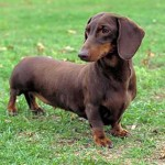 stock pictures , 5 Perfect Wiener Dog Pictures In Dog Category