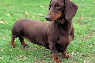 Dog , 5 Perfect Wiener Dog Pictures : stock pictures