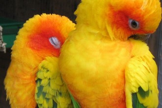 sun conure parrot in Dog