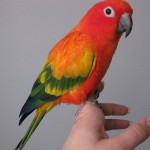 sun conure parrot facts , 7 Beautiful Sun Conure Parrot In Birds Category