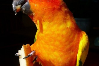 Sun Conure Parrot Facts Couple , 7 Beautiful Sun Conure Parrot In Birds Category