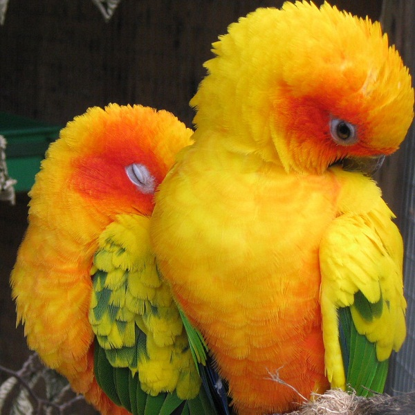 Birds , 7 Beautiful Sun Conure Parrot : Sun Conure Parrot