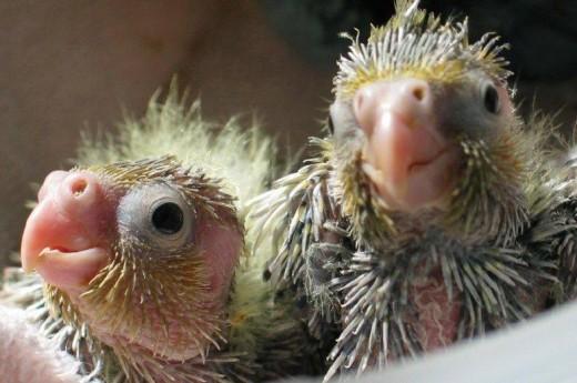 Cute baby cockatiel - photo#16