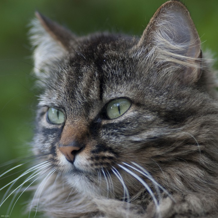 Cat , 6 Wonderful Tabby Cat Pictures : Tabby Cat