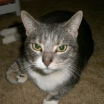 tabby cats picture , 6 Wonderful Tabby Cat Pictures In Cat Category