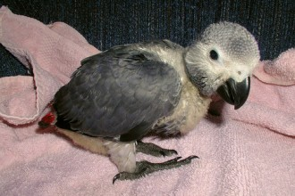 The African Grey Parrot , 7 Cute Baby African Grey Parrot In Birds Category