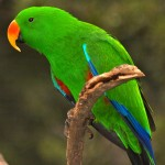 the eclectus parrot , 7 Nice Eclectus Parrot In Birds Category