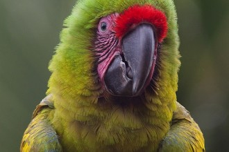 The Great Green Macaw , 8 Nice Great Green Macaw In Birds Category